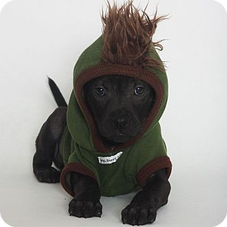 Pit Bull Terrier/Shar Pei Mix Puppy for adoption in Stockton, California - Brutus