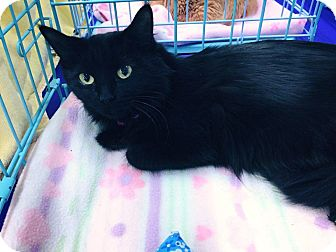 Domestic Mediumhair Cat for adoption in Mansfield, Texas - Melody