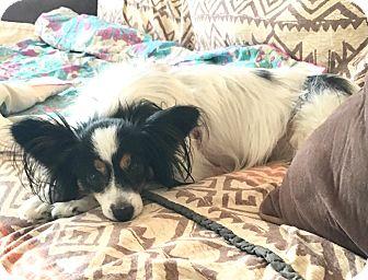 Papillon Dog for adoption in Carlsbad, California - Kristen