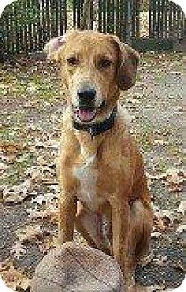 Labrador Retriever/Hound (Unknown Type) Mix Dog for adoption in Hampton, Virginia - KONA