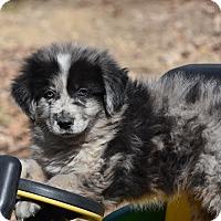 Adopt A Pet :: Bartlett - South Dennis, MA
