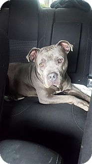 American Pit Bull Terrier/American Staffordshire Terrier Mix Dog for adoption in Portland, Oregon - Callie
