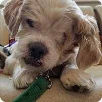 Adopt A Pet :: Gizmo- BLIND, ONE EYE - Oak Ridge, NJ