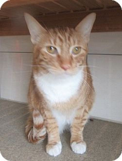 Domestic Shorthair Cat for adoption in North Richland Hills, Texas - Brody