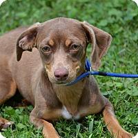 Beagle/Dachshund Mix Puppy for adoption in Springfield, Virginia - Barbie