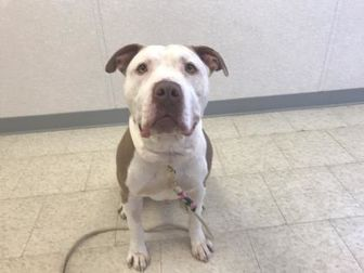 American Pit Bull Terrier Mix Dog for adoption in Wantagh, New York - Romeo