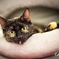 Adopt A Pet :: Callie - Garland, TX