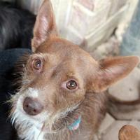 Adopt A Pet :: Mattie - Waco, TX