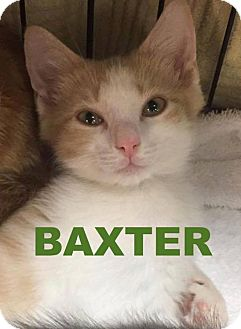 Domestic Shorthair Kitten for adoption in Delmont, Pennsylvania - 4Baxter
