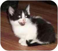 Domestic Mediumhair Kitten for adoption in Tampa, Florida - Pepe