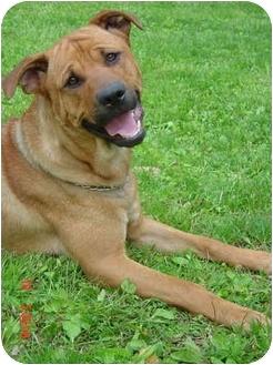 Labrador Retriever/Golden Retriever Mix Dog for adoption in Powell, Ohio - Wyatt