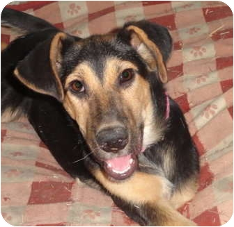 Black and Tan Coonhound/Shepherd (Unknown Type) Mix Dog for adoption in Pie Town, New Mexico - ROSIE