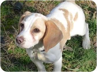 Beagle Puppy for adoption in Waldorf, Maryland - Rita Skeeter