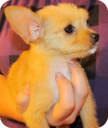 Chihuahua Mix Puppy for adoption in East Hartford, Connecticut - Peaches