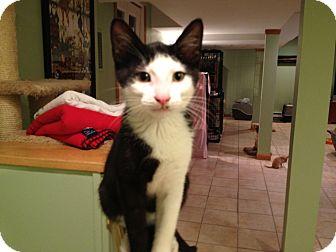 Domestic Shorthair Cat for adoption in East Hanover, New Jersey - Phantom