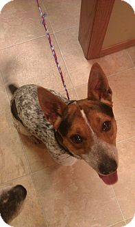 Corgi/Blue Heeler Mix Dog for adoption in New London, Wisconsin - Boston