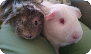 Guinea Pig for adoption in Fullerton, California - Marshmellow and Tumbleweed
