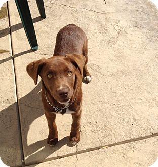Labrador Retriever/Border Collie Mix Puppy for adoption in Gustine, California - MOLLY L