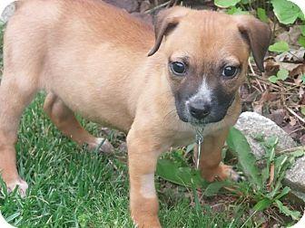 Pekingese/Tibetan Spaniel Mix Puppy for adoption in Wappingers, New York - Piage
