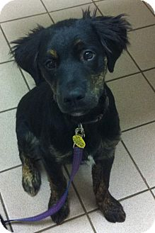 Retriever (Unknown Type)/Flat-Coated Retriever Mix Puppy for adoption in Knoxville, Tennessee - Bronx