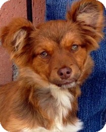 Pomeranian Mix Puppy for adoption in Los Angeles, California - Hickory *VIDEO*