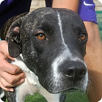 Adopt A Pet :: Duke - white settlment, TX