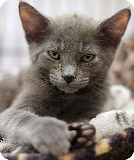 Russian Blue Kitten for adoption in Sacramento, California - Hercules