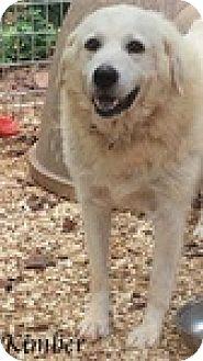 Great Pyrenees/Labrador Retriever Mix Dog for adoption in Newnan, Georgia - Kimber