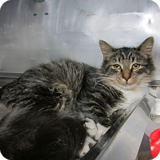 Maine Coon Cat for adoption in Lyons, New York - Minerva