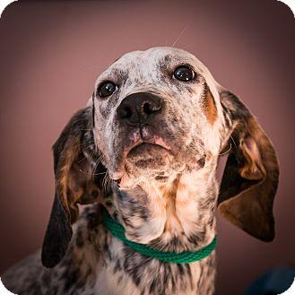 Hound (Unknown Type)/Pointer Mix Puppy for adoption in Staunton, Virginia - Lovey