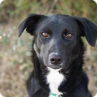 Adopt A Pet :: *Glorious Gloria - PENDING - Westport, CT