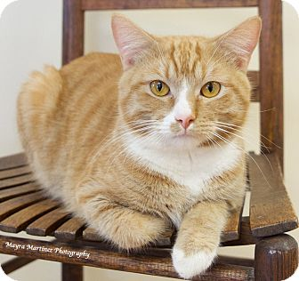 Domestic Shorthair Cat for adoption in Nashville, Tennessee - Tippy