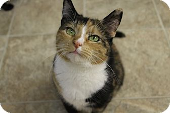 Calico Cat for adoption in levittown, New York - HOLLY