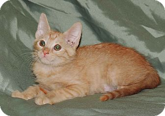 Domestic Shorthair Kitten for adoption in Plano, Texas - SUNFLOWER-BRIGHT PERSONALITY