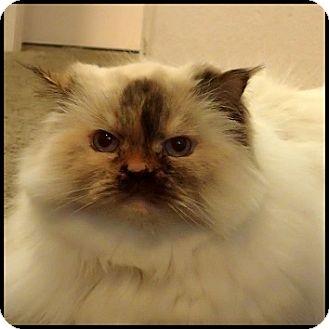 Himalayan Cat for adoption in Colorado Springs, Colorado - Sophie