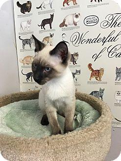 Siamese Kitten for adoption in Loogootee, Indiana - Mr. Kitty