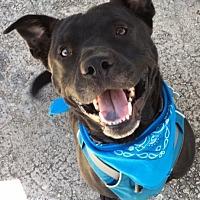 Adopt A Pet :: Kramer - Stone Mountain, GA