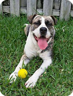 American Bulldog Mix Dog for adoption in Ocean Ridge, Florida - Gucci