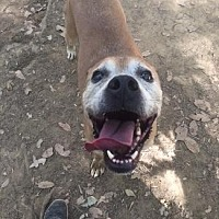 Boxer/Greyhound Mix Dog for adoption in Pt. Richmond, California - BERT