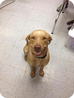 Labrador Retriever/Hound (Unknown Type) Mix Dog for adoption in Olympia, Washington - Deliliah