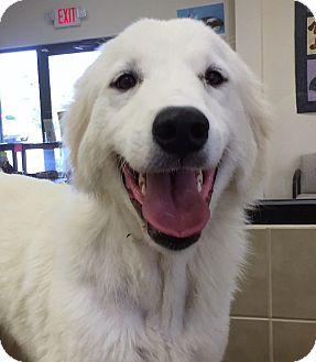 Great Pyrenees Mix Dog for adoption in Kyle, Texas - Bella Senorita
