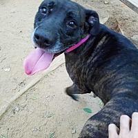 Adopt A Pet :: Layla - Charlotte, NC