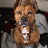 Adopt A Pet :: Ranger *In a foster home* - Breinigsville, PA