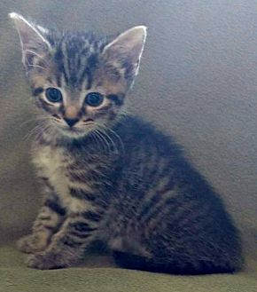 Domestic Shorthair Kitten for adoption in Jefferson, North Carolina - Harmony