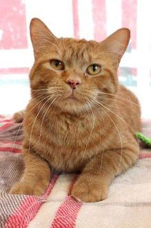 British Shorthair/Domestic Shorthair Mix Cat for adoption in Bristol, Indiana - Galahad (Visit me at the Goshen Petco)