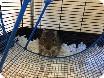 Degu for adoption in Methuen, Massachusetts - KEL