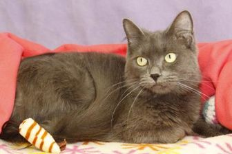 Domestic Mediumhair/Domestic Shorthair Mix Cat for adoption in Bristol, Indiana - Leyna
