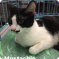 Adopt A Pet :: Mustachio - Mansfield, TX