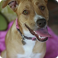 Adopt A Pet :: Foxy Roxie - Studio City, CA