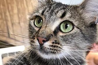 Domestic Mediumhair Cat for adoption in Park City, Utah - Tonks